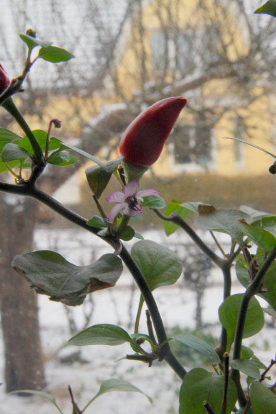 chili_med frukt_3