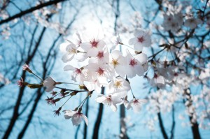 cherry-blossoms-1716762_1280