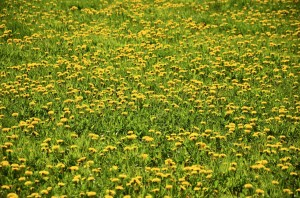 dandelion-meadow-1362678_1280